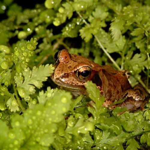 Naturschutz – Grasfrosch